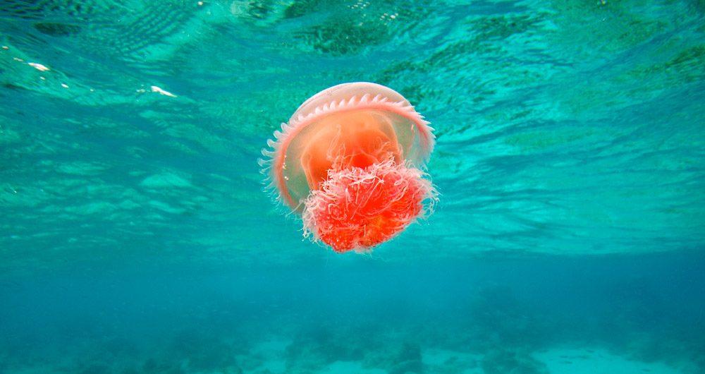 C mo se mueven las medusas - Como se alimentan las medusas ...