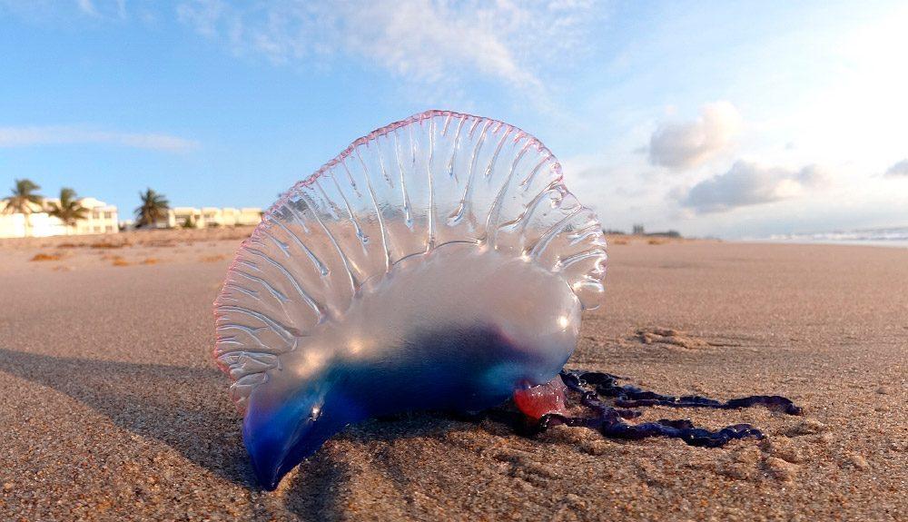 Resultado de imagen de medusa picadura mortal